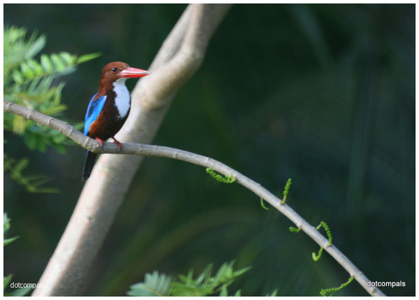 The white-throated kingfisher (Halcyon smyrnensis)