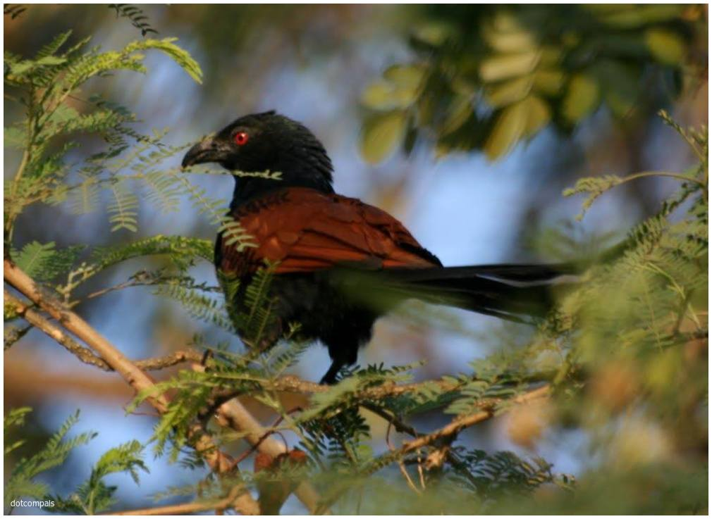 Crow pheasant - Greater Coucal - Centropus sinen