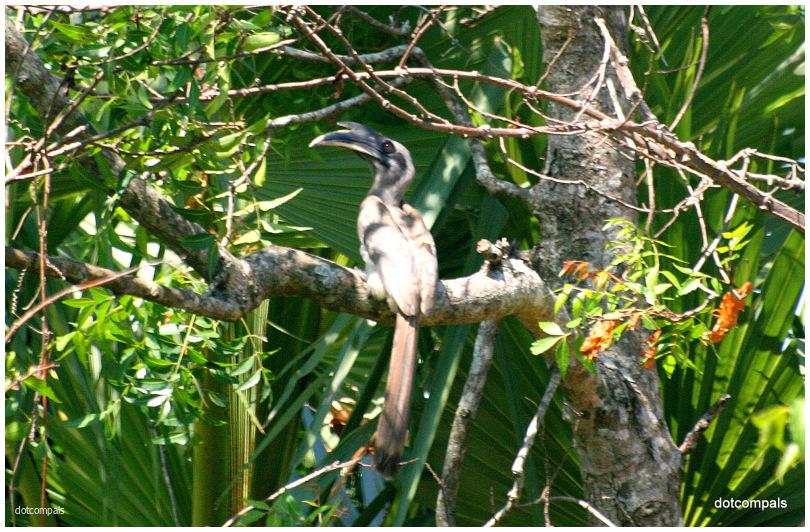Indian grey hornbill Ocyceros birostris