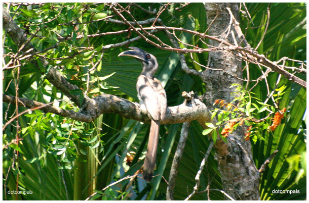 Indian grey hornbill Ocyceros birostris