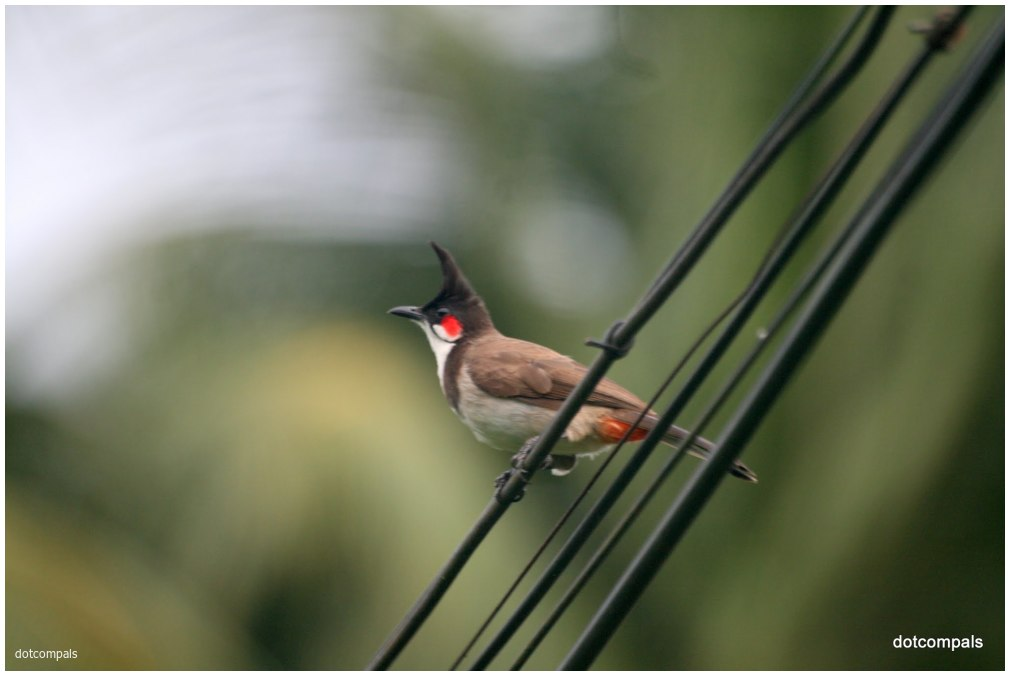 Red-whiskered Bulbul ( Pycnonotus jocosus )
