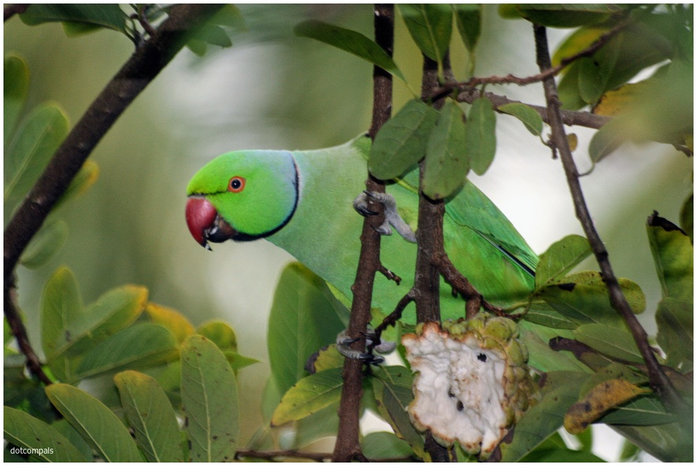 The rose-ringed parakeet Psittacula krameri