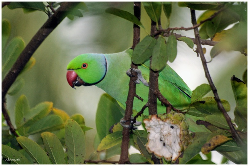 The rose-ringed parakeet Psittacula krameri