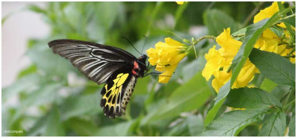 The southern birdwing - Troides minos