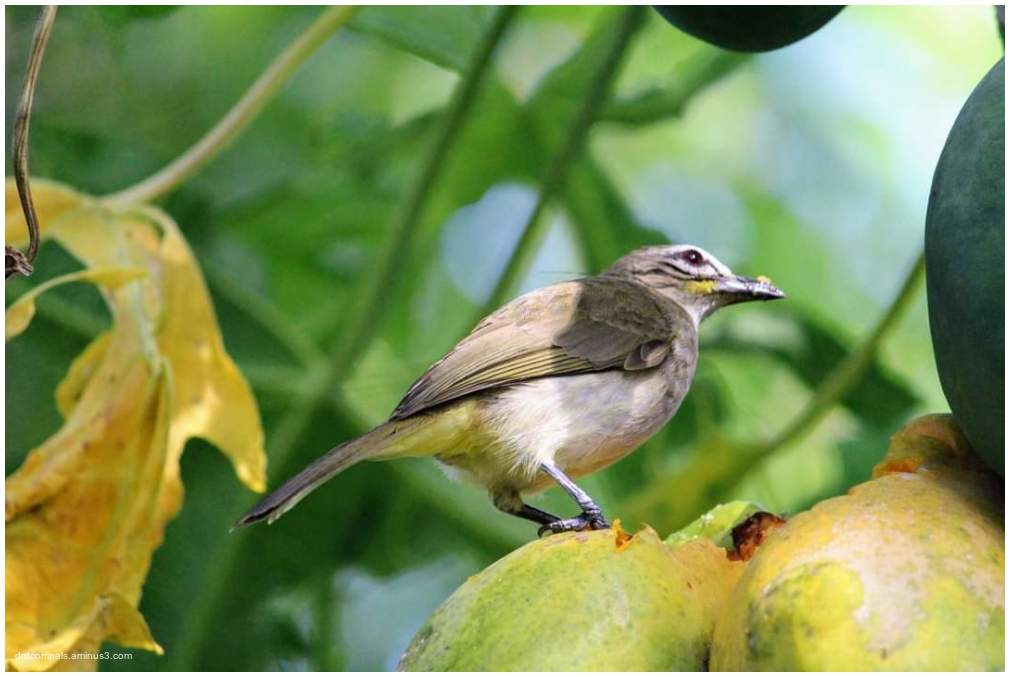 The white-browed bulbul