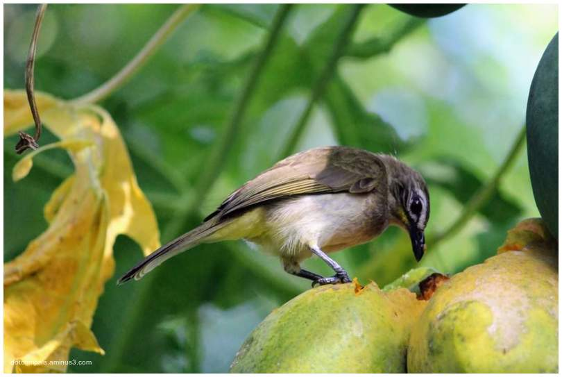 The white-browed bulbul 2