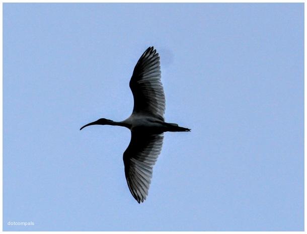 The black headed ibis  Threskiornis melanocephalus