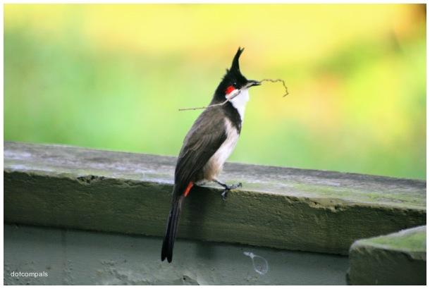 The red whiskered bulbul | Pycnonotus jocosus