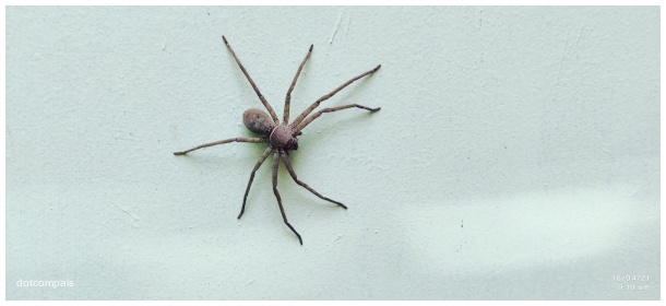 Large House Spider