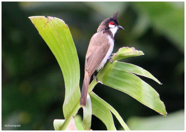 The red whiskered bulbul on a banana leaf