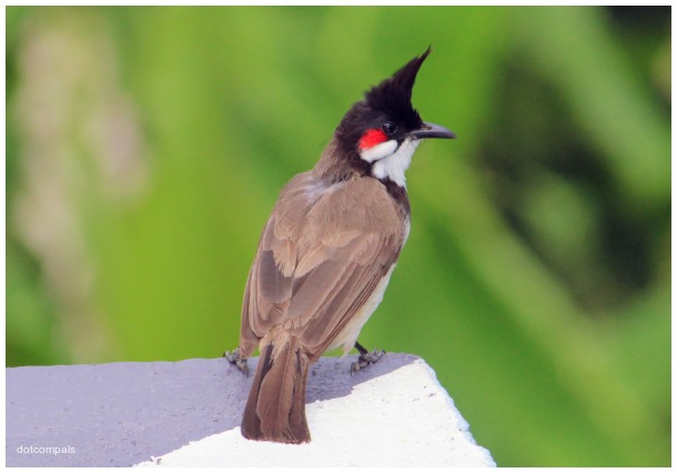 The red whiskered bulbul | Crested bulbul