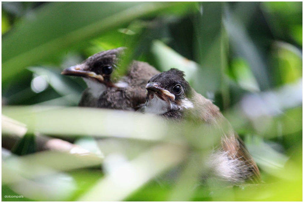2 months old Red whiskered bulbul chick