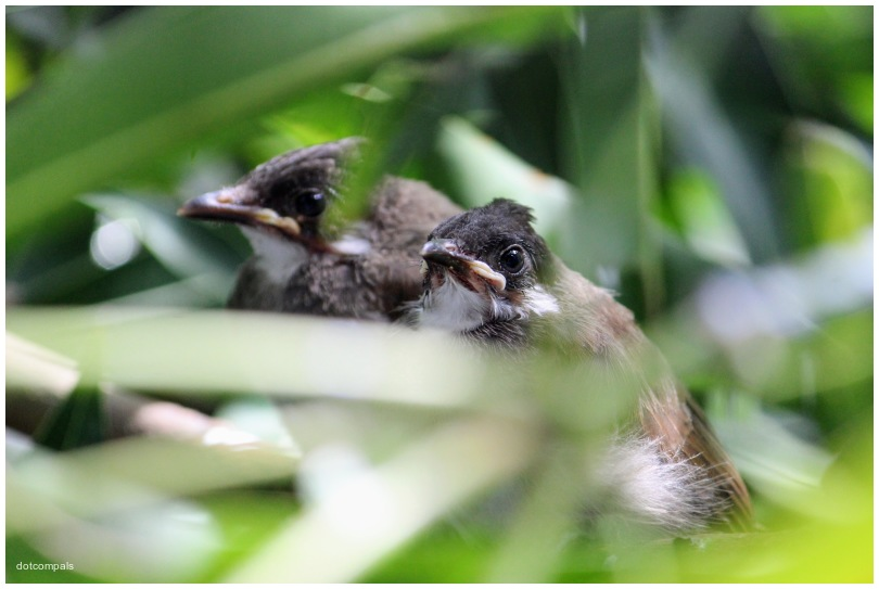 Red whiskered bulbul chicks   2 months old