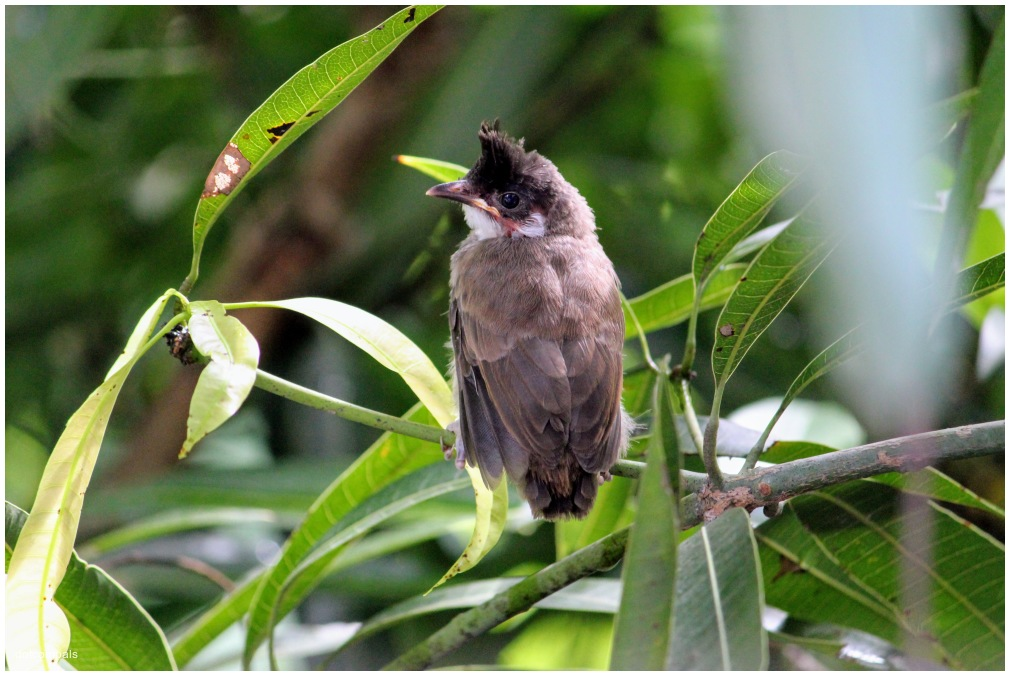 A bulbul chick - Red whiskered bulbul