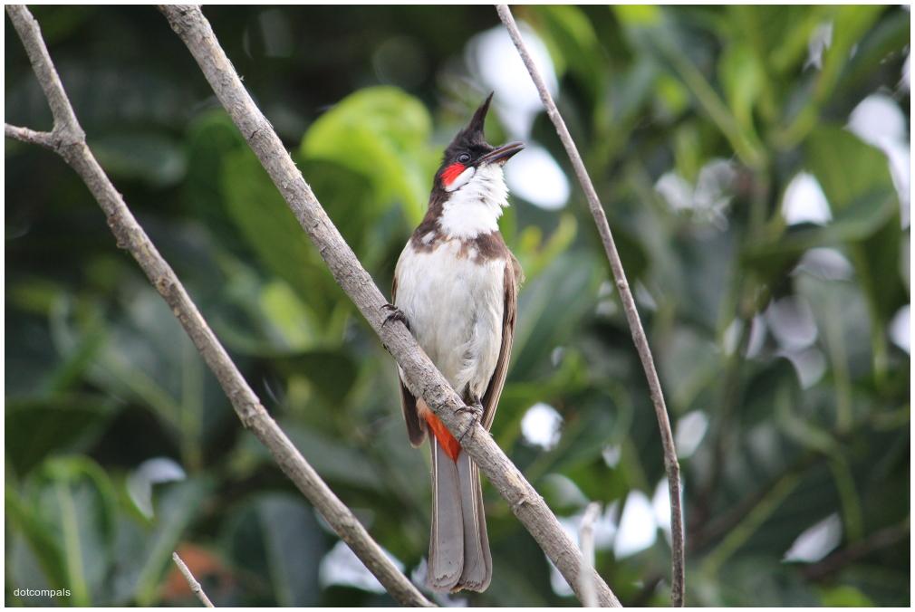 Red-whiskered bulbul - garden songbird