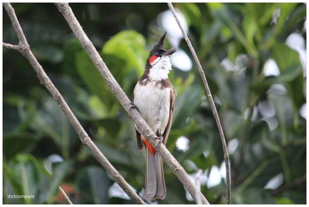 Red whiskered bulbul   garden songbird