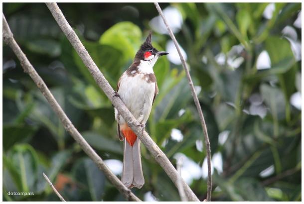 The red-whiskered bulbul | Pycnonotus jocosus