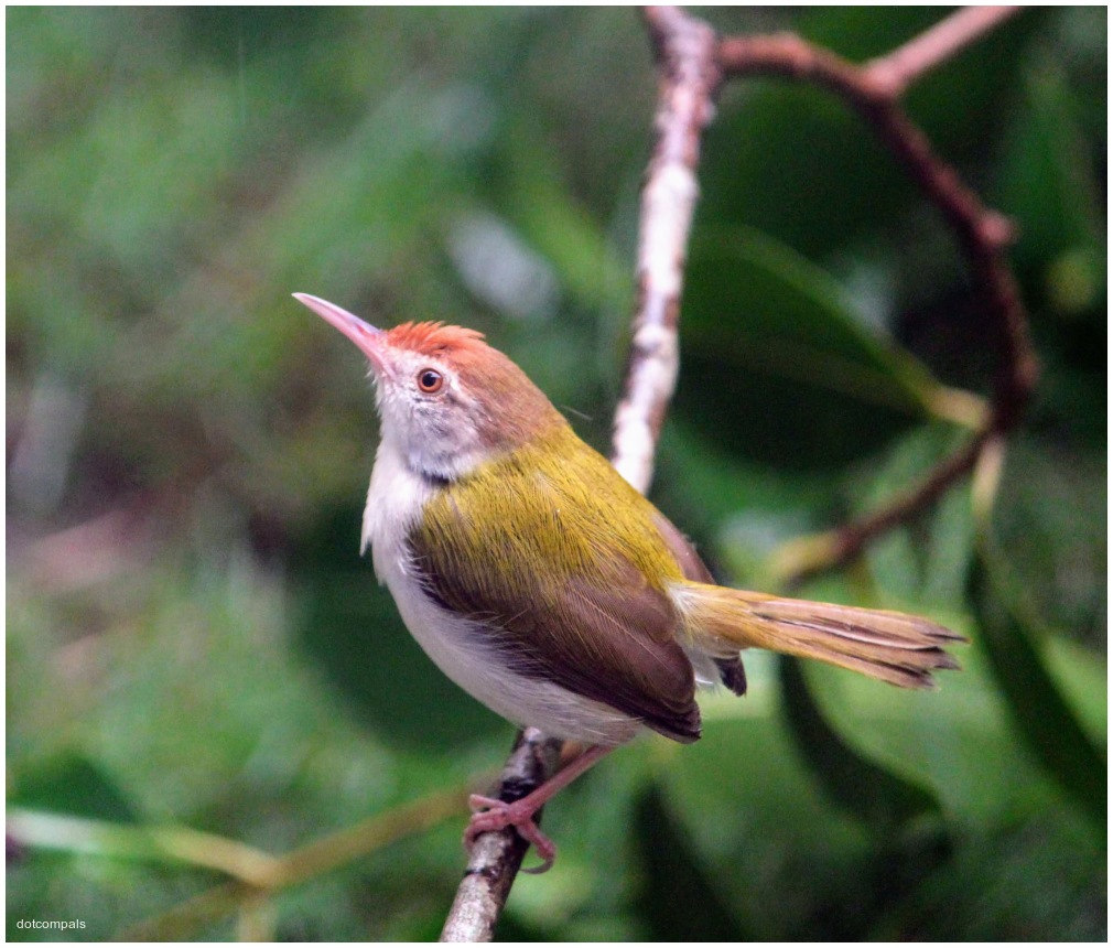 The common tailorbird is a songbird found across t