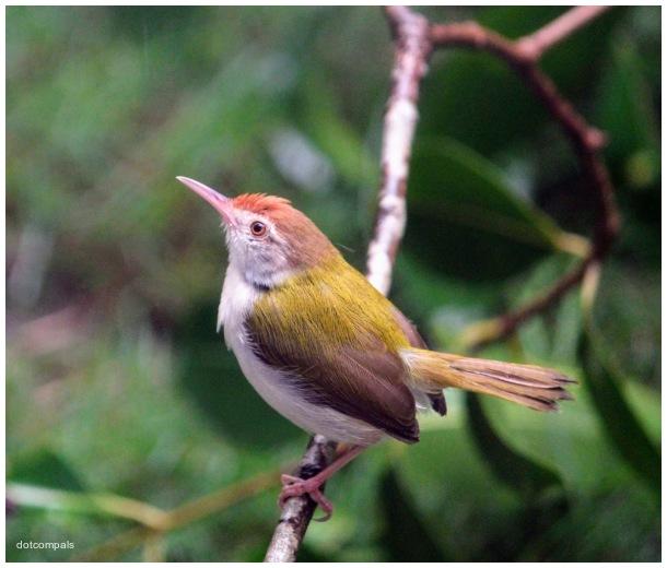 Common tailorbird | Orthotomus sutorius