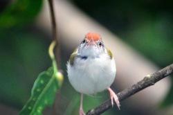 Angry Bird? Common tailorbird|Orthotomus sutorius