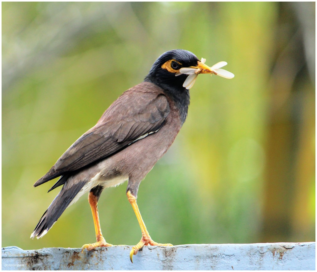 Double Catch for Myna