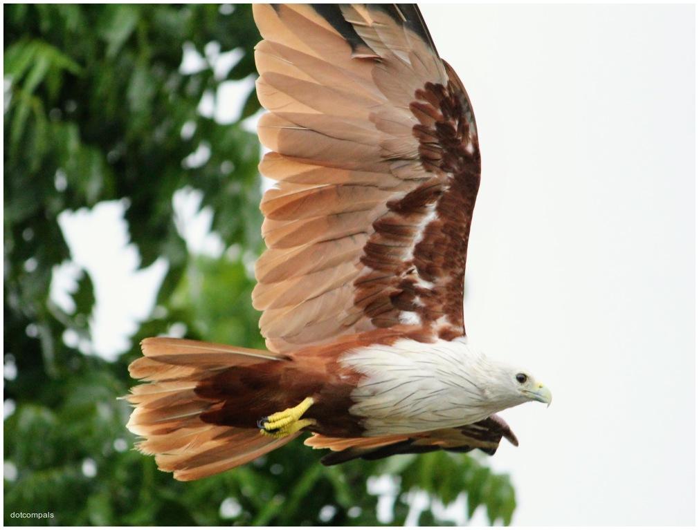 Brahminy kite | Haliastur indus