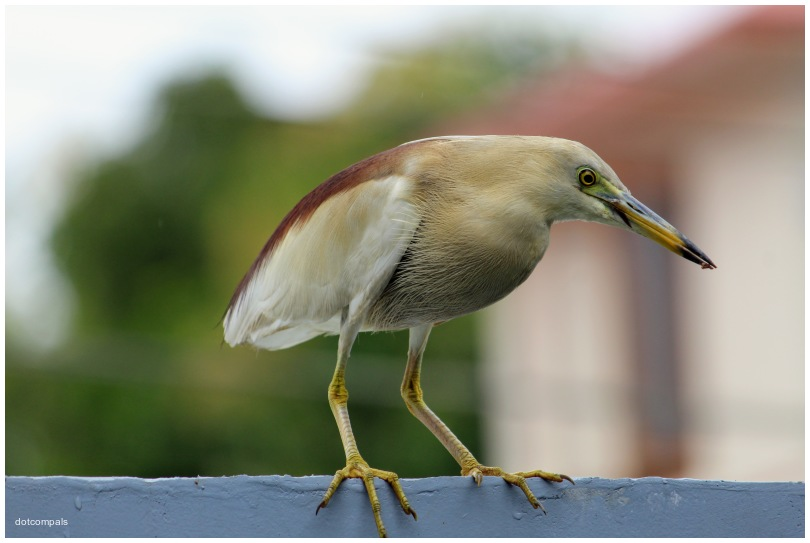 Indian Pond Heron | Ardeola grayii