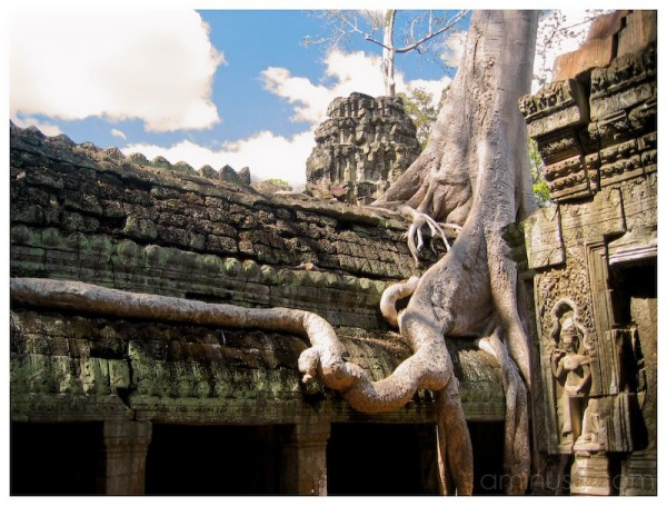 Giant trees overrun the Temples in Cambodia