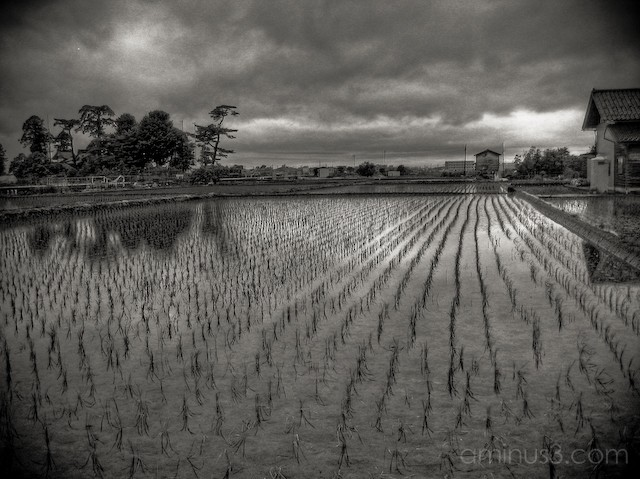 Buddhist temple and Rice Field
