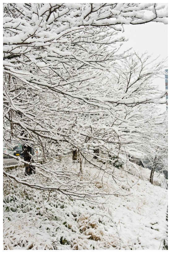Tree covered snow in kanazawa, Japan