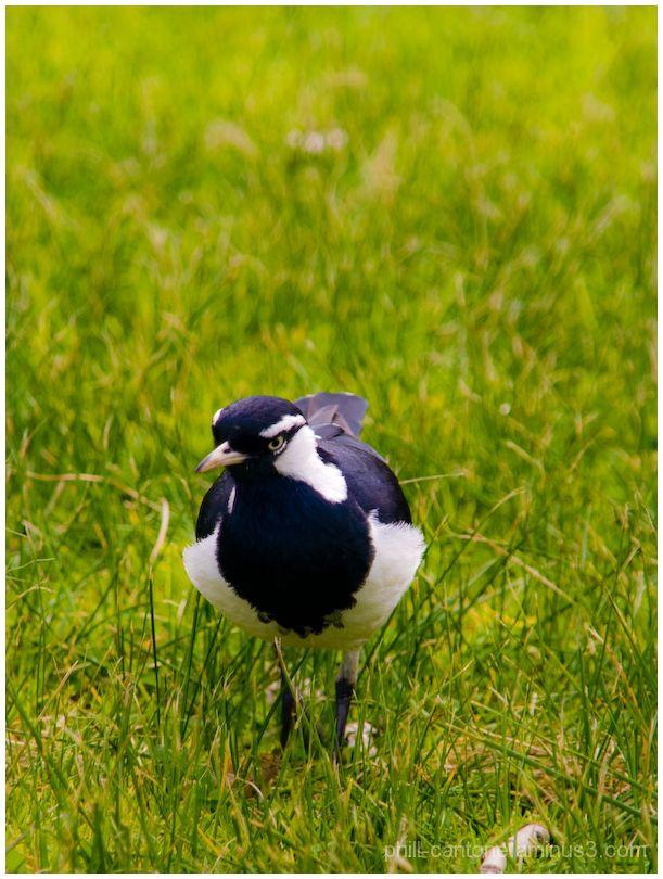 Close up of a bird at Melbourne's Albert Park Lake