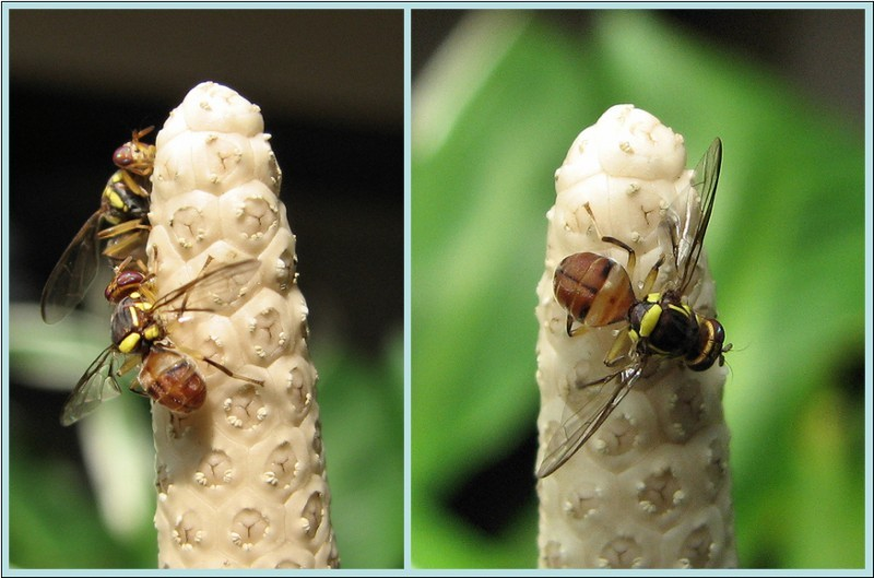 Wasps on arum lily