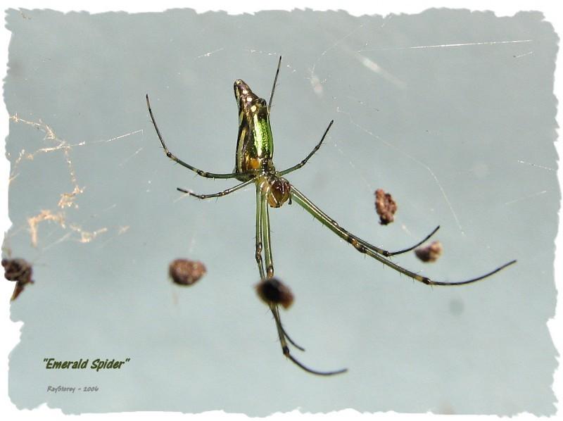 Emerald green spider on untidy web