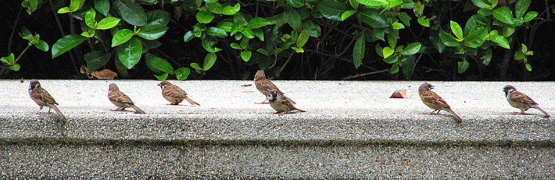 Eurasian Sparrows are very social animals