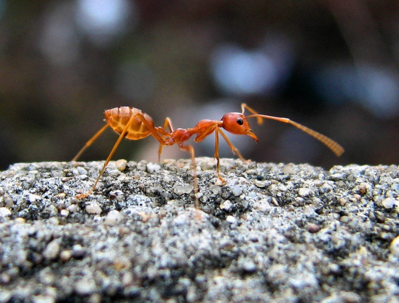 Red Ant may be Thailand's most successful species