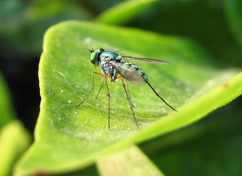 Long legged green fly on a leaf