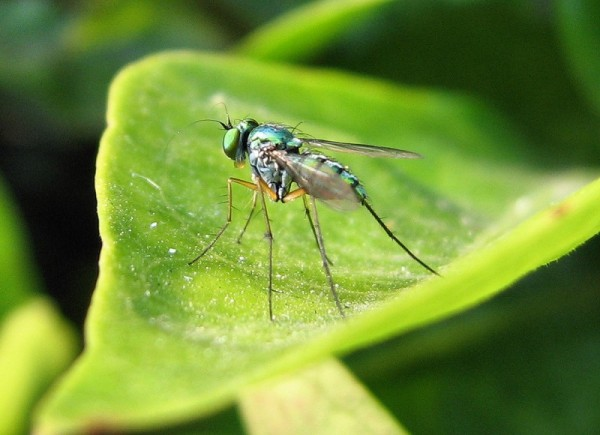 Long legged green fly on a leaf
