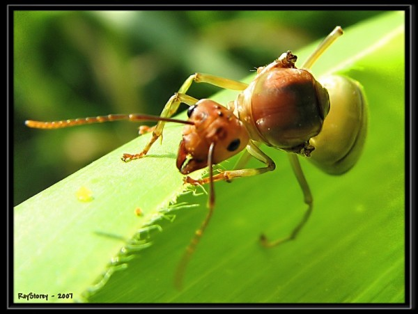 edible, wingless, flying ant.