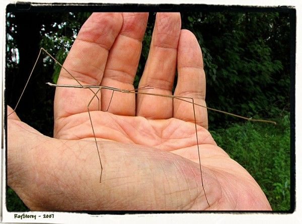 Stick insect makes a handfull