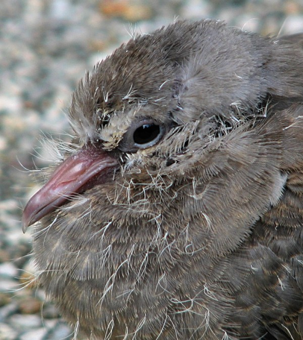 Immature dove has exited the nest too soon.