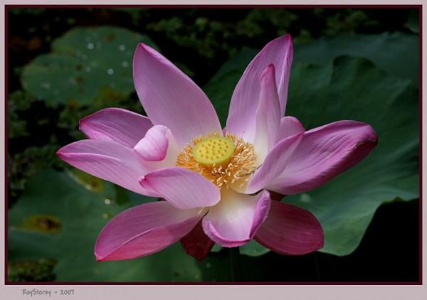 Bloom of the Royal lotus