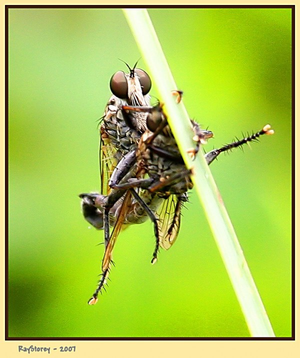 Roberflies mating on a grass stalk