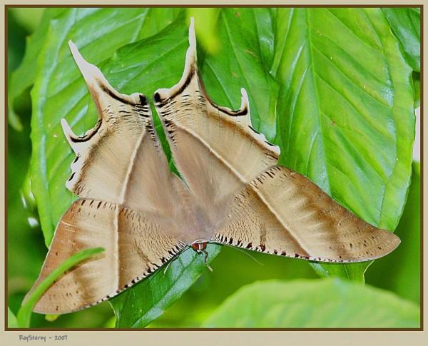 Batwing Butterfly