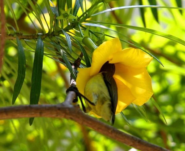 Sunbird sips nectar