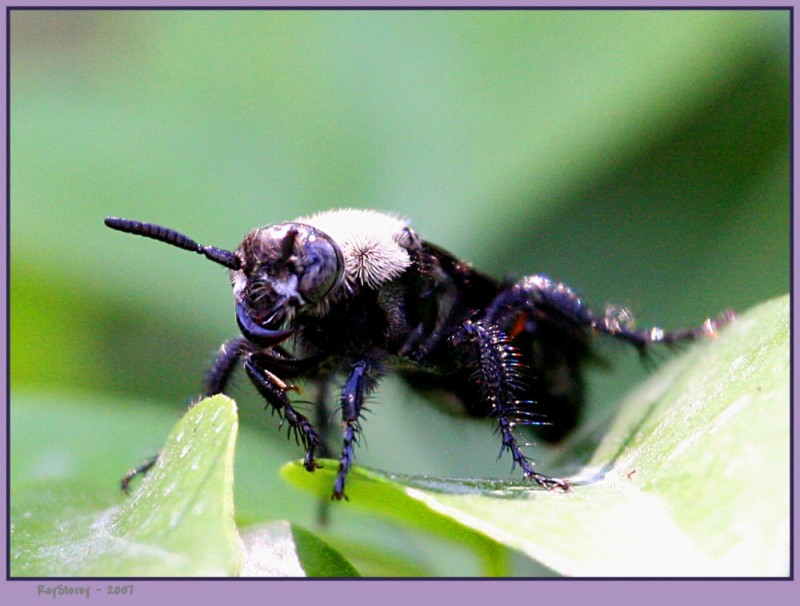 Sabre Toothed Hornet