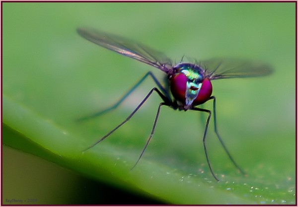 Long-legged greenfly