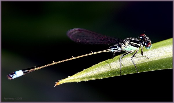 Damselfly on leaf