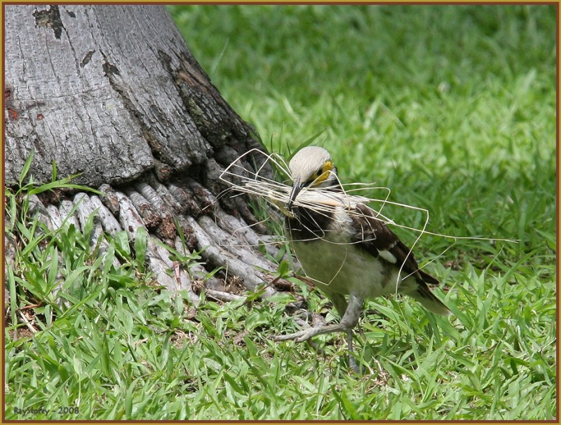 Black collared Asian Starling