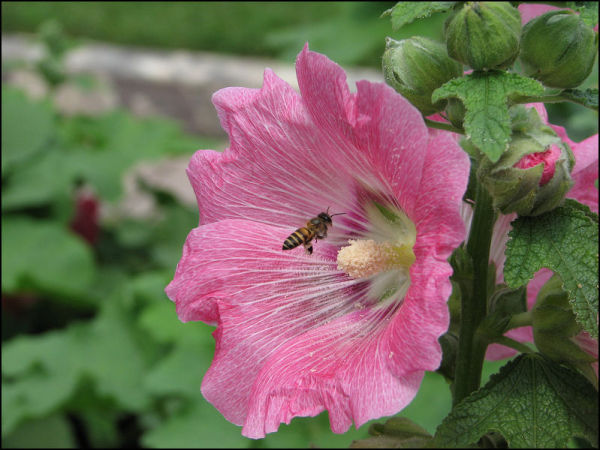 Bee approaches a Hollyhock bloom