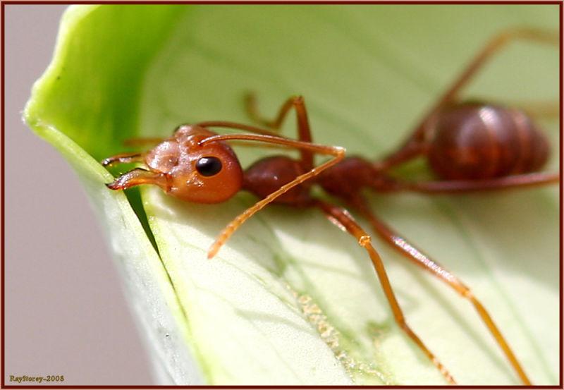 Ant staple